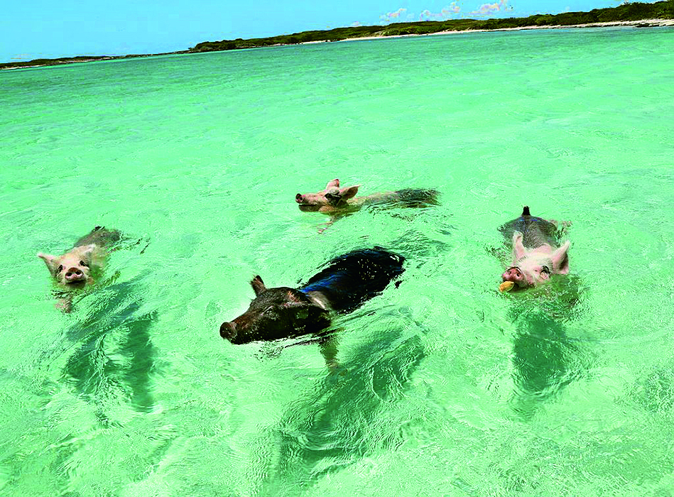 Fröhlich grunzende Gastgeber: Die schwimmenden Exuma-Schweine heißen die Besucher ihrer Insel herzlich und hungrig willkommen.